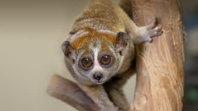 Slow loris rescued in Hasanabad, this rare species and 12 birds rescued during trafficking to India