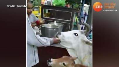 Watch: Man feeds cow and calf golgappas