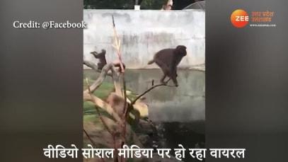 Monkey Shows stunt On Thin Branch